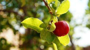 Acérola : fruit de la plante en gros plan sur sa branche. Fruit rouge ressemblant à une cerise.