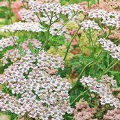 Fleurs d'achillée millefeuille blanches et roses (bénéfiques contre la fièvre)