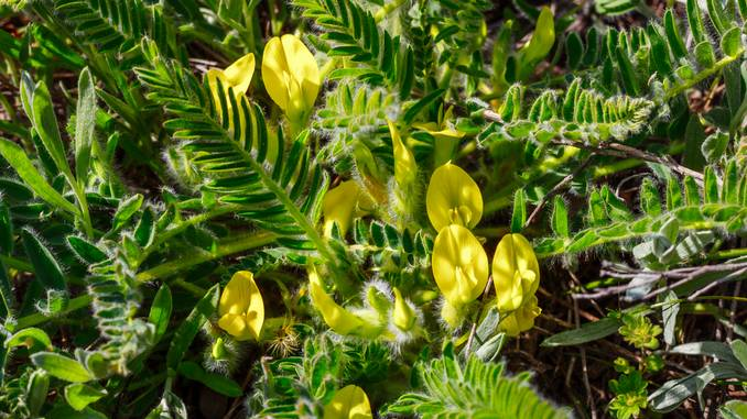 Des branches feuillues d'Astragalus Membracaneus avec des fleurs jaunes. Un insecte brun grimpe sur une des branches. On aperçoit le ciel à travers le feuillage.