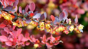 Branche de berbérine, les feuilles sont rouges. Les fleurs sont jaunes et rouges.