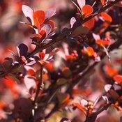 Berbérine : branches de Berberis, les feuilles de l'épine vinette sont petites et rouges