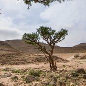 Arbre de boswellia serrata poussant dans des sols sableux et rocailleux
