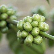 Une branche qui comporte des grains de café vert.