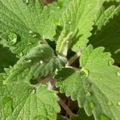 Cataire (nepeta cataria) en gros plan avec gouttes d'eau dessus.