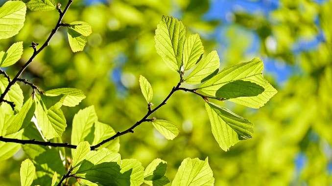 Branches et feuilles vertes d'un chêne en gros plan.