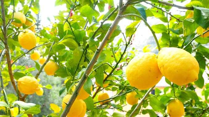 Citrons jaunes en gros plan dans un citronnier. Zoom sur les branches et les citrons au soleil.