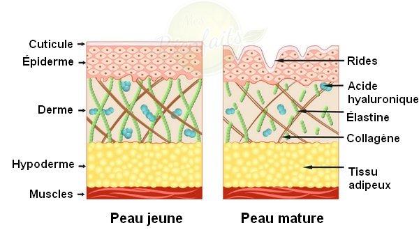 Collagène : schéma qui montre comment cette molécule se présente dans une peau jeune et dans une peau mature