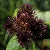 Zoom sur la fleur noire violette du costus indien