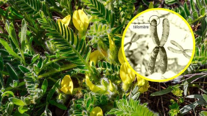 Cycloastragenol représenté par la plante astragale. La plante est feuillue, verte et possède de nombreuses fleurs jaunes. À droite, il y a un encart rond et blanc avec une image de chromosomes et de télomères.