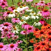 Des dizaines d'échinacées de couleurs roses, blanches et rouges dans un champ