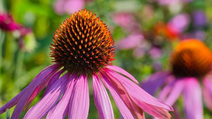 Fleur d'échinacée rose en gros plan. Elle a de longs pétales roses et des aiguilles sur le centre. Le fond de l'image est vert et rose.