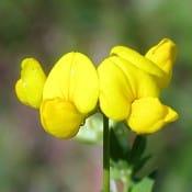 Feuilles de fenugrec avec gousses jaunes.