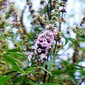Fleurs violettes de gattilier, les feuilles sont vertes