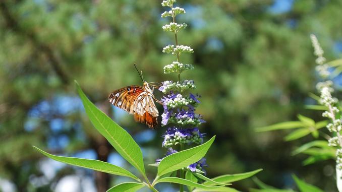 Fleur bleue de gattilier sur laquelle s'est posé un papillon.