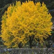 Deux arbres ginkgo biloba de grande taille. Leurs feuilles sont entièrement jaunes ce qui rend le feuillage doré.