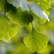 Feuilles de ginkgo biloba en gros plan. Les feuilles sont vertes, en forme d'éventail.