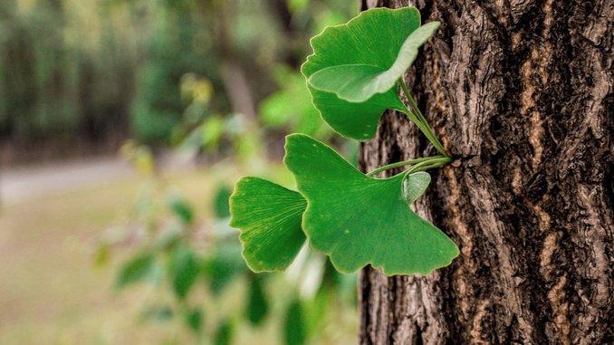 Des feuilles de ginkgo biloba vertes sortent du tronc. Le fond de l'image est vert et flouté.