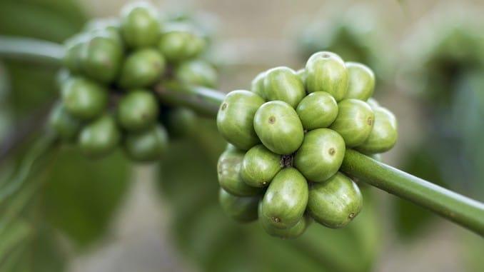 Grains de café vert en gros plan : grains et feuilles vertes vus en gros plan.