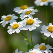 Fleurs blanches et jaunes de grande camomille (appelée aussi feverfew car elle combat la fièvre)