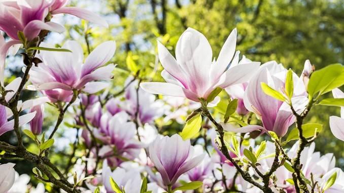 Honokiol : extrait de fleurs de magnolia