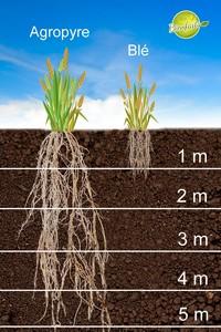 Racines de Kernza qui s'enfoncent jusqu'à 5 mètres sous terre