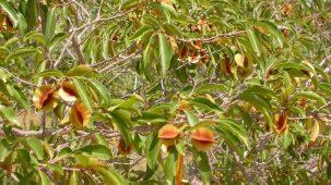Feuilles vertes de kinkéliba dans un arbre. On aperçoit également des fleurs de kinkéliba rouges et jaunes