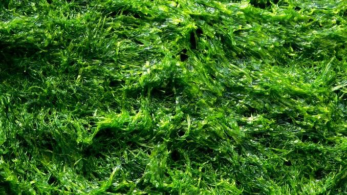 Gros plan sur des algues Klamath