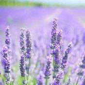 Champ de lavande, avec fleurs violettes en gros plan.