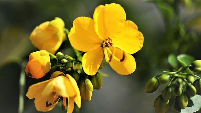 Fleur de séné jaune en gros plan. On aperçoit au fond de l'image des bourgeons verts encore fermés. Le séné est un excellent laxatif naturel.