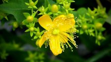 Millepertuis : fleur et bougeons jaunes en gros plan.