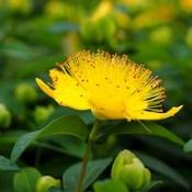 Millepertuis : fleur jaune en gros plan et bourgeons.