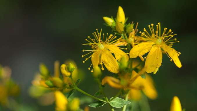 Millepertuis en gros plan : plante verte et fleur jaune.