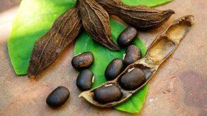 Pois de mucuna pruriens en gros plan, une cosse est ouverte en deux, couchée sur des feuilles vertes