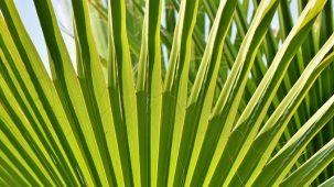 Feuilles vertes de Palmier nain (Sabal Palmetto) en gros plan