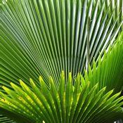 Feuilles vertes de palmier nain (Sabal Palmetto) qui laissent entrevoir la lumière à travers elles.