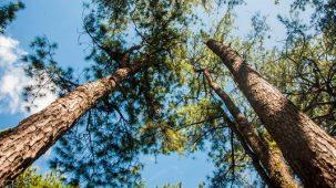 Des pins maritimes photographiés de leur tronc vers leurs cimes. On aperçoit un ciel bleu au dessus de leurs branches vertes.
