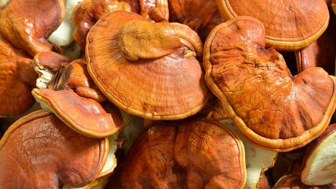 Zoom sur un champignon reishi rouge qui pousse dans la mousse à l'état naturel