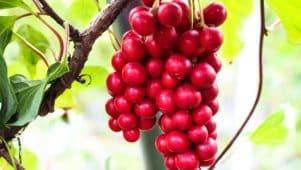 Fruits rouges de schisandra en grappe suspendus à une branche