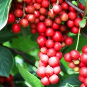 Baies rouges de schisandra en grappe dans un arbre