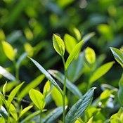 Feuilles de thé vert dans un champ illuminées par le soleil.