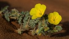Fleur jaune de tribulus terrestris en gros plan