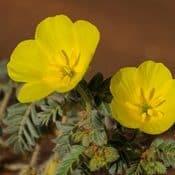 Tribulus Terrestris fleur jaune plante verte