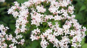 Fleurs de valériane de couleur blanche et roses en gros plan