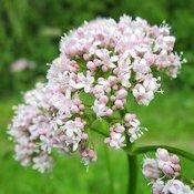 Fleur de valériane en gros plan : teinte blanche et mauve.